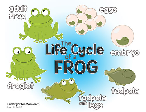image about Frog Life Cycle Printable named Frog Lifetime Cycle Printables - Kindergarten Mother